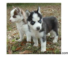Blue,Gold eyes Siberian Husky Puppies..