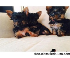 Pure Bred Yorkshire Terrier Puppies available.