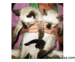 Siamese Seal Point kittens