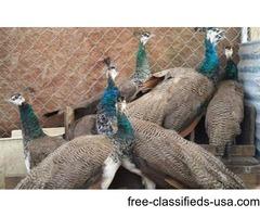 Peacock Pairs