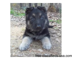 CKC German Shepherd Pups | free-classifieds-usa.com