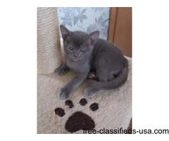 stunning lilac asian kitten for sale
