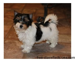 Affectionate Akc Yorkie Puppies males&females