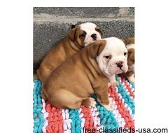 Adorable Retriever(Labrador) puppies