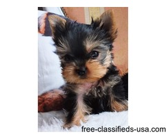 Adorable Purebred Yorkie puppies to rehome