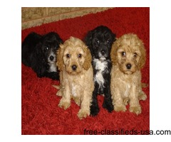 2 cavapoo puppys left to go to loving homes.