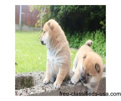 beautiful Shiba Inu PUPPIES for a good home