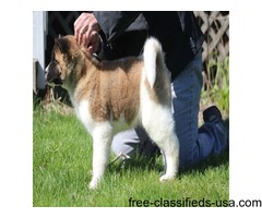 Chunky akita puppies ready for a lovely home