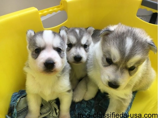We Have 3 Pretty Husky Puppies For Sale Animals Brookshire