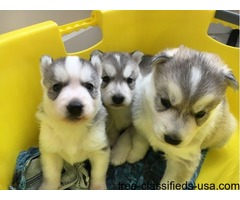 We have 3 pretty husky puppies for sale.