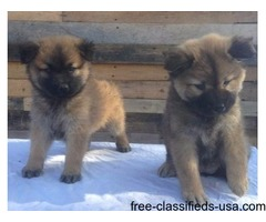Insured chow chow pups for sale