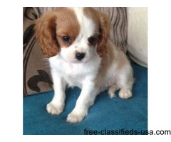 adorable cavelier king pup for sale