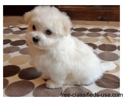 Male and Female Maltese Puppies
