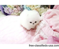 Outstanding Teacup Pomeranian Puppies for adoption