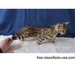 Bengal Kittens TICA registered