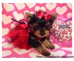 Super Darling Teacup Yorkshire Terrier Puppy