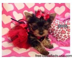 Super Darling Teacup Yorkshire Terrier Puppy
