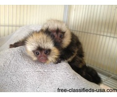 affectionate marmoset MALE AND FEMALE