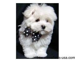 Super Adorable Maltese Puppies