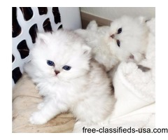 Two Beautiful white Persian kittens available