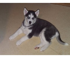 male and female Blue eyes Siberian Husky puppies