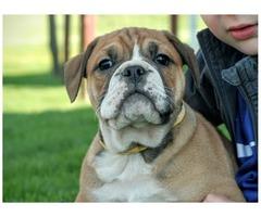 Cute English Bulldog Pupies for adoption.