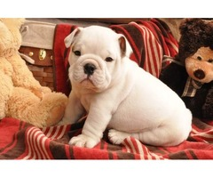 lovely English Bulldog puppies ready to go to a new home