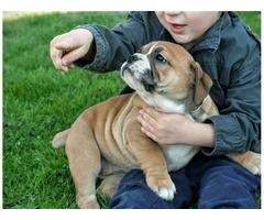 Beautiful English Bulldog pups
