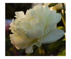 Grow Peonies - Big, Beautiful Flowers