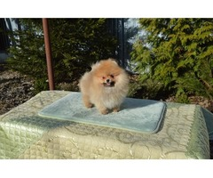 1 MALE POMERANIAN PUP FOR PET LOVERS