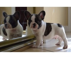playful french bulldog for sale