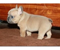 gorgeouse french bulldog for sale