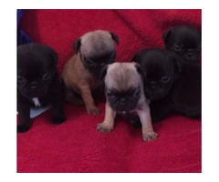 Adorable Black Pug Puppies