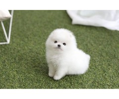 Micro Teacup Pomeranian Puppies for adoption