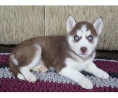cute Male and Female Siberian Husky Puppies//