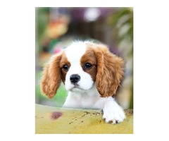 akc Cavalier King Charles Spaniel puppies
