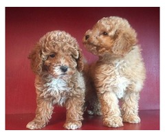Cute Poodle Puppies for Adoption