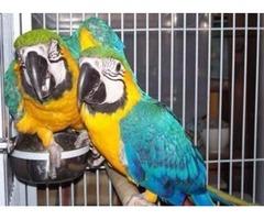 parrots and fertile parrot eggs for sale