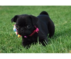 Charming Pug Puppies For Sale