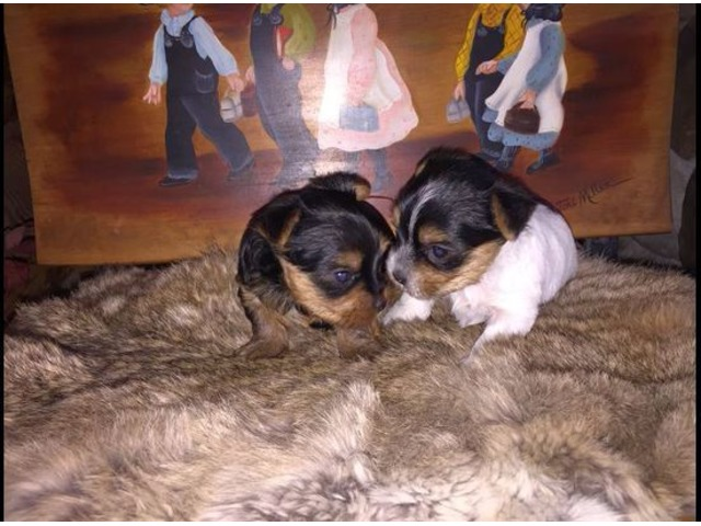 Very healthy and cute YORKIE  Terrier puppies for you | free-classifieds-usa.com