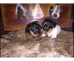 Very healthy and cute YORKIE  Terrier puppies for you