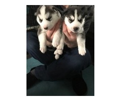 Stunning Siberian Husky puppies available to loving homes