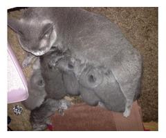GCCF British Shorthair Kittens For Adoption