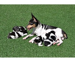 Fox Terrier dogs for sale