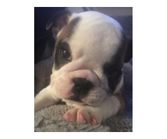 AKC English Bulldog