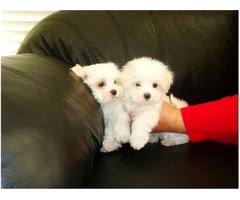 TWO Male and female Maltese puppies for pet lovers.