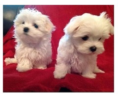 Awesome T-Cup Maltese Puppies Available contact at (302) 307-6146