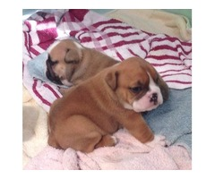 Well Trained 5 English Bulldog puppies ready now