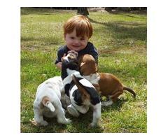 Peanut Basset hound puppies