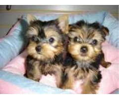 healthy and playful Yorkie Puppies Adoption